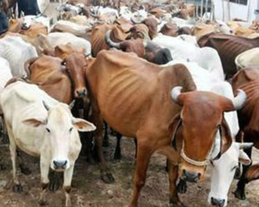 Cattle slaughter ban causes chaos in India