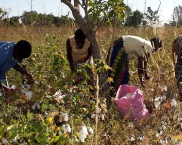 Cotton insurance success for Senegal