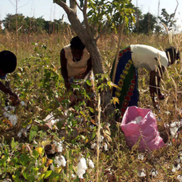 Cotton insurance success for Senegal