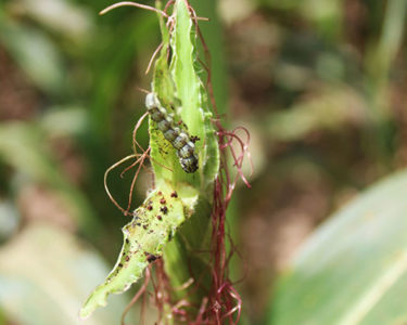African Development Bank joins risk management efforts to curb impact of worm infestation on east African agriculture