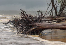 Concept of Tsunami, cyclone, aftermath, tornado, hurricane etc. Dead trees fallen on the beach area of a coastal region. Climate change and global warming are causing a huge damage to the beachside ecology. Rising sea level due to melting of icebergs are causing sweeping away of the coastal soil, consequently the tree falls, year after year more and more trees are falling as water has started penetrating into the coastal belts where it has not penetrated for past many years.