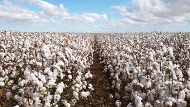 Cotton field in west Texas. Credit: Shutterstock/Phillip Minnis
