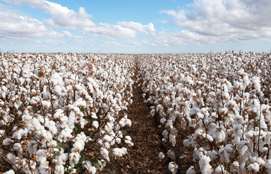 Climate change threatens future of cotton production and supply chains, warns WTW report