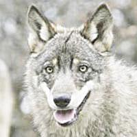 Saxon farmers win compensation for wolf attacks